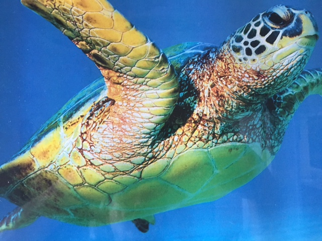 Turtles can be found close to the shore for easy viewing. Turtle Bay is a good place to see some.