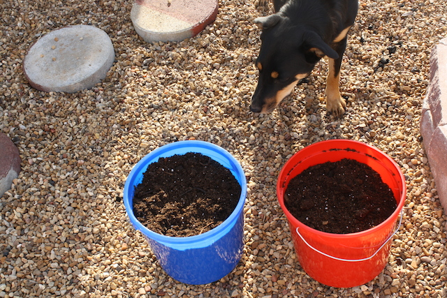 Lambo looks curiously at two buckets in which avocado seeds are planted