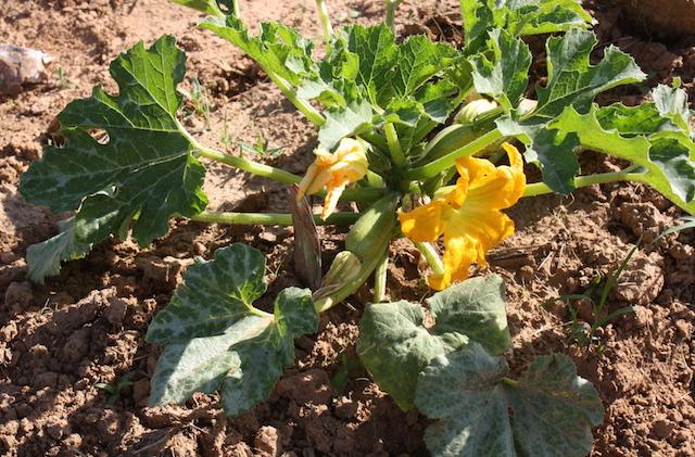 A healthy zucchini plant